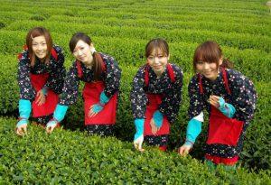 静岡 茶摘み体験
